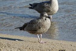 큰재갈매기 [Slaty-backed Gull] juv