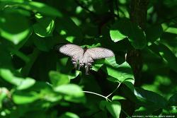 사향제비나비