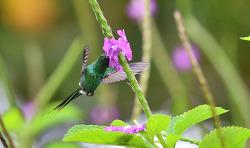Green Thorntail,10cm