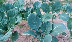 케일 재배방법[파종,발아,정식,수확시기와 병충해 방제]