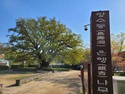 [인천가볼만한곳] 장수동 은행나무