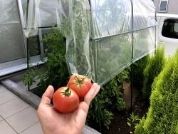 토마토 농사 - 수확 시작!
