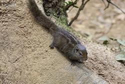 Dusky palm squirrel