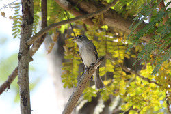 Asian Brown Flycatcher [쇠솔딱새]