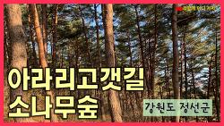 강원도 정선 아라리고갯길(뱅뱅이재) 소나무숲 - 병방치 스카이워크 주차장 옆