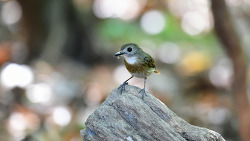 Fulvous-chested Jungle Flycatcher, 15cm
