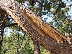 마이삭, 나무를 쓰러뜨리다