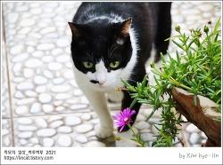 [적묘의 고양이]한여름, 폭염, 할묘니,캣닙, 캣그라스, 바랭이풀