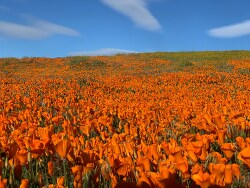 봄 꽃놀이의 최고 장소 Antelope Valley California Poppy Reserve