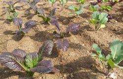 겨자채(적겨자,청겨자)재배[파종,발아,수확시기와 병충해 방제방법]