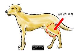 [D Health] 활달한 우리 개, 어느날 뒷다리를 절어요! - 개 슬개골 탈구