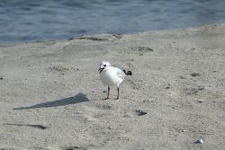 검은머리갈매기 [Saunders's Gull]