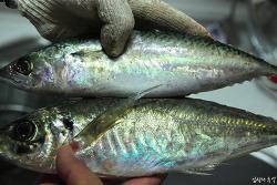 두 생선의 차이는? 통풍 환자가 먹어도 되는 생선과 안 되는 생선
