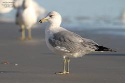 Ring-billed Gull [북미갈매기] 2015.2.8