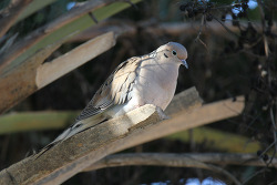 Mourning Dove. 2015.2.8