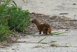 족제비 [Siberian weasel]