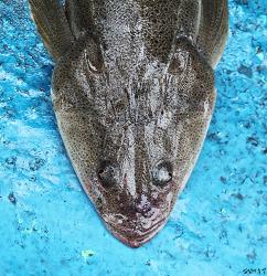 이 생선을 잡으면 버리지 마요! 아무도 모르는 양태(장대)의 맛과 비밀