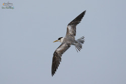 큰제비갈매기 [Greater Crested Tern]