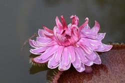 서울에서 빅토리아 연꽃을