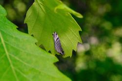 큰녹색부전나비 애벌레