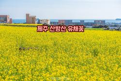 랜선 여행. 제주에서 만나는 아름다운 노란색 봄