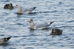 작은재갈매기(작은흰갈매기) [Iceland Gull]
