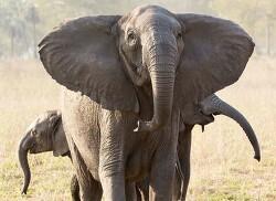내전의 비극 속 '애달픈' 진화…코끼리는 '상아' 없이 태어났다