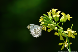 갈고리흰나비(갈구리나비)