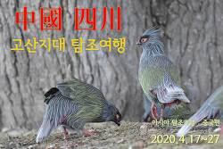 아시아 탐조기행 2020 - 중국 쓰촨(四川) 9박11일