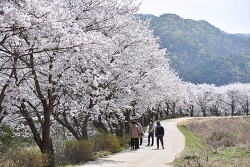 귀여리 벚꽃