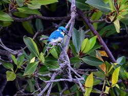 Small Blue Kingfisher[Cerulean Kingfisher],13cm