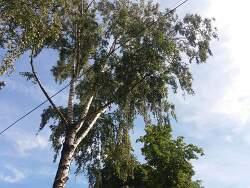 Vilnius 124_동네  자작나무