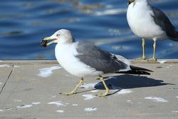 괭이갈매기 [Black-tailed Gull]