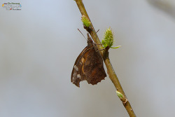 뿔나비 [Nettle-tree Butterfly]