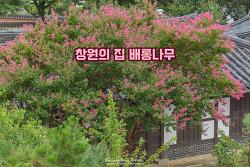 경남 창원의 집 배롱나무와 200년 넘은 고택