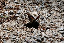 홍줄나비 숫컷