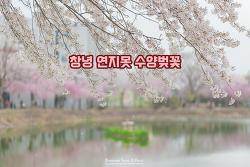 벚꽃들의 색감이 꼭 동화 같은 곳, 창녕 영산 연지못 수양벚꽃
