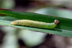 줄점팔랑나비 애벌레