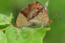 흰줄표범나비 교미