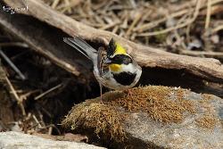 노랑턱멧새 [Yellow-throated Bunting]