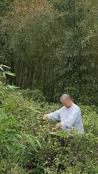 대숲에서 자란 야생차잎