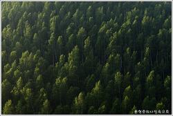 강원 태백에서 자작나무