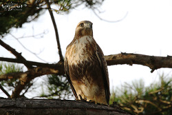 말똥가리 [Eastern Buzzard]