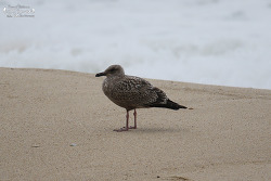 큰재갈매기 [Slaty-backed Gull]