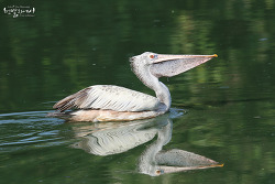 Spot-billed Pelican 5
