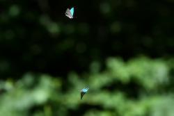 산녹색부전나비 플라잉