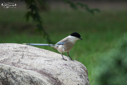물까치 [Azure-winged Magpie]