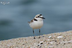 흰물떼새 [Kentish Plover]
