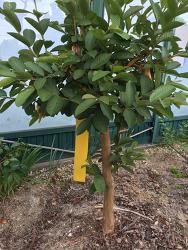 [제철 영농작업] 구아바 나무 곁순 따기 작업