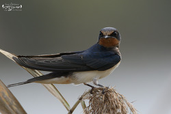 제비 [Barn Swallow]